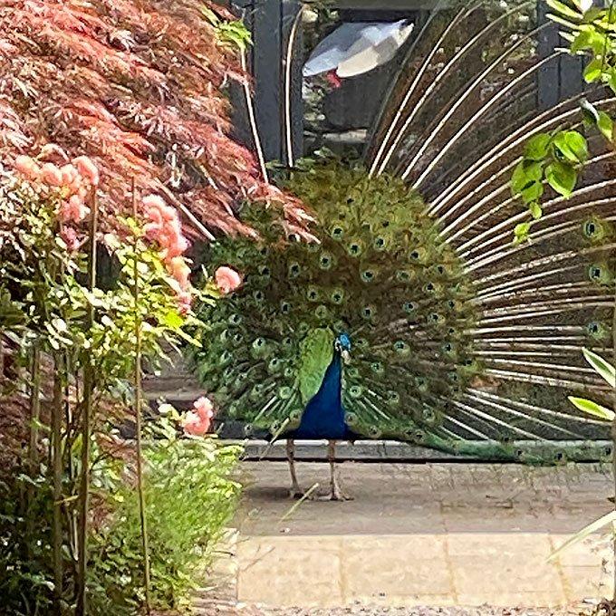 Peacock 'Tivoli' dances