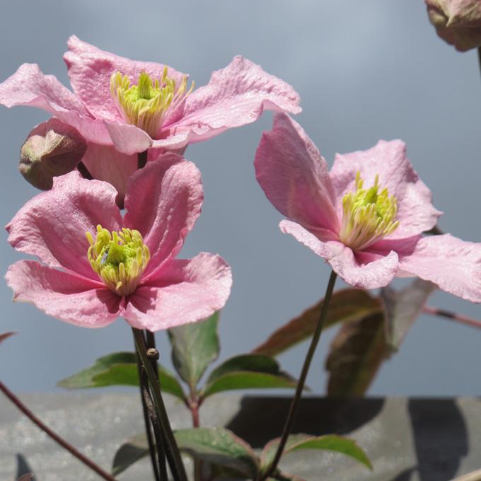B&B-Tilburg flowering clematis garden details